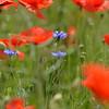 Poppys_Echichens_2015 (152)