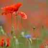 Poppys_Echichens_2015 (136)