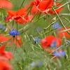 Poppys_Echichens_2015 (160)