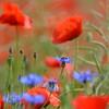 Poppys_Echichens_2015 (122)