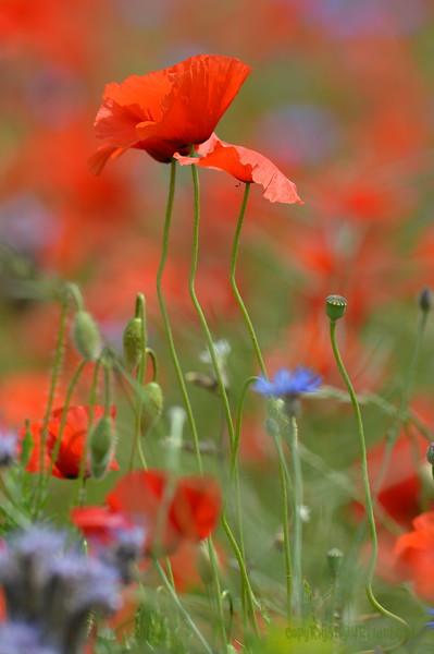 Poppys_Echichens_2015 (132)