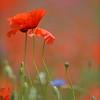 Poppys_Echichens_2015 (134)