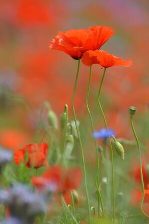 Poppys_Echichens_2015 (137)