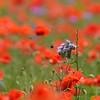 Poppys_Echichens_2015 (154)