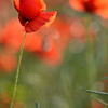 Poppys_Echichens_2015 (204)