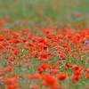 Poppys_Echichens_2015 (139)
