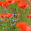 Poppys_Echichens_2015 (151)