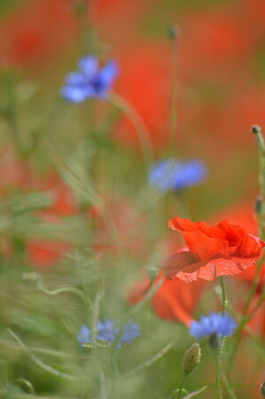 Poppys_Echichens_2015 (158)