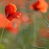 Poppys_Echichens_2015 (201)