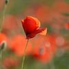 Poppys_Echichens_2015 (202)