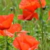 Poppys_Echichens_2015 (146)