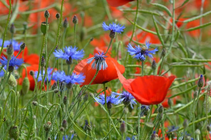 Poppys_Echichens_2015 (145)