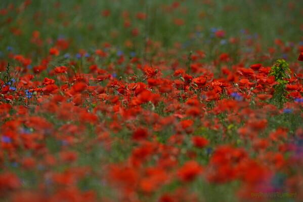 Poppys_Echichens_2015 (140)