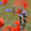 Poppys_Echichens_2015 (115)