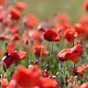Poppys Mallorca 2017