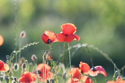Poppys_Morges_08062019 (30)
