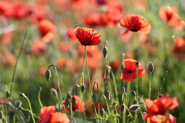 Poppys_Morges_08062019 (12)