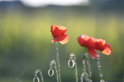 Poppys_Morges_08062019 (33)