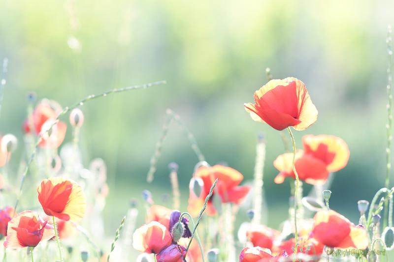 Poppys_Morges_08062019 (26)
