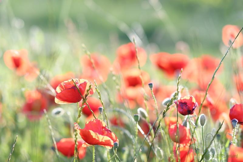 Poppys_Morges_08062019 (29).JPG
