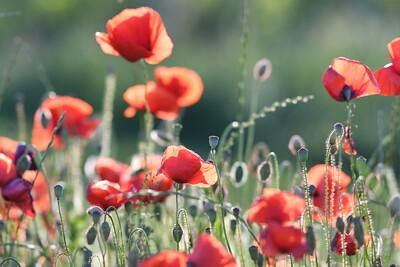 Poppys_Morges_08062019 (21)