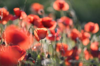 Poppys_Morges_08062019 (42)