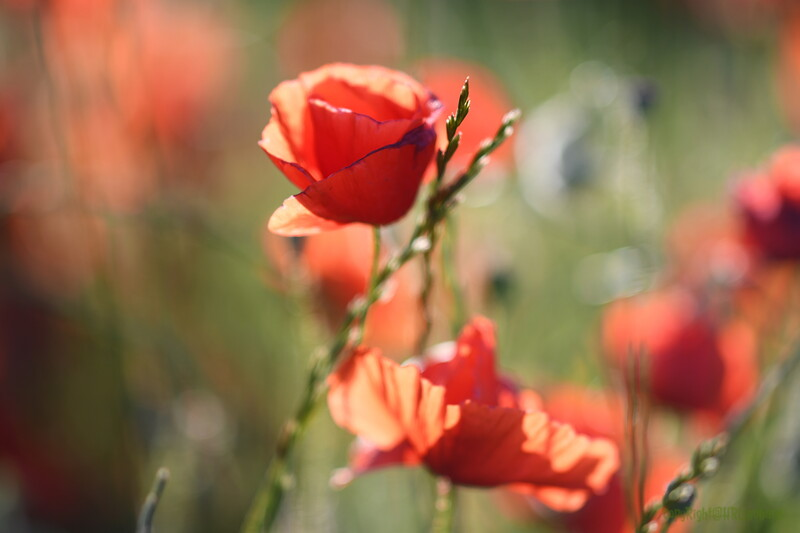 Poppys_Morges_08062019 (50)