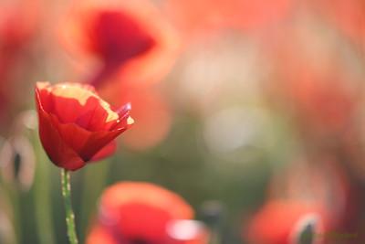 Poppys_Morges_08062019 (56)