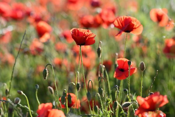 Poppys_Morges_08062019 (10)