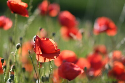 Poppys_Morges_08062019 (5)
