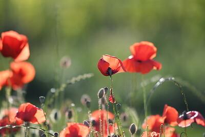 Poppys_Morges_08062019 (7)