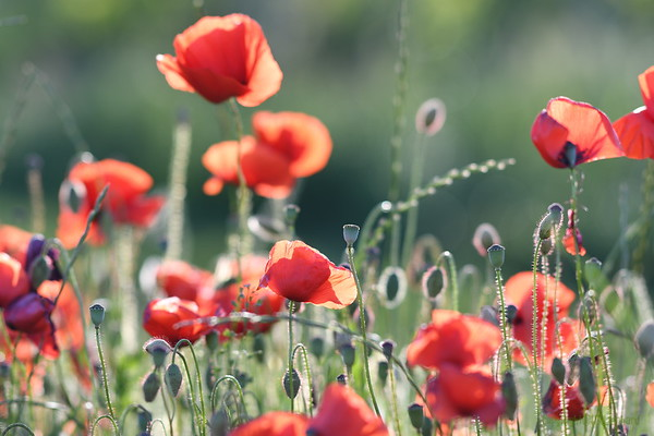Poppys_Morges_08062019 (18)