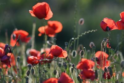 Poppys_Morges_08062019 (22)
