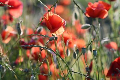 Poppys_Morges_08062019 (40)