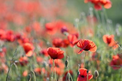 Poppys_Morges_08062019 (15)