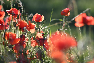 Poppys_Morges_08062019 (46)