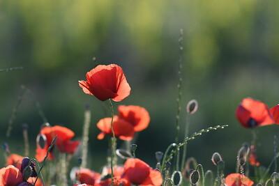 Poppys_Morges_08062019 (16)