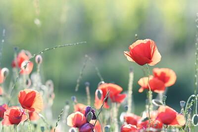 Poppys_Morges_08062019 (24)