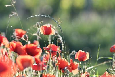 Poppys_Morges_08062019 (44)