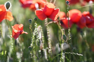 Poppys_Morges_08062019 (2)