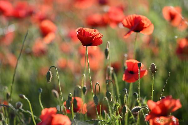 Poppys_Morges_08062019 (11)