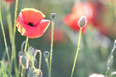 Poppys_Morges_08062019 (59)