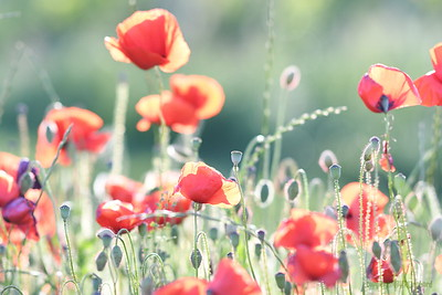Poppys_Morges_08062019 (20)