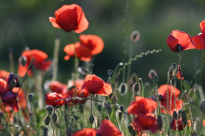Poppys_Morges_08062019 (19)