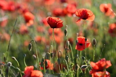 Poppys_Morges_08062019 (13)