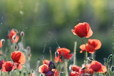 Poppys_Morges_08062019 (25)
