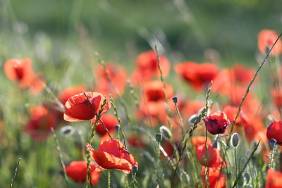 Poppys_Morges_08062019 (27)