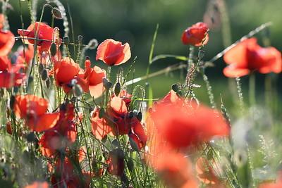 Poppys_Morges_08062019 (47)