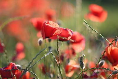 Poppys_Morges_08062019 (53)