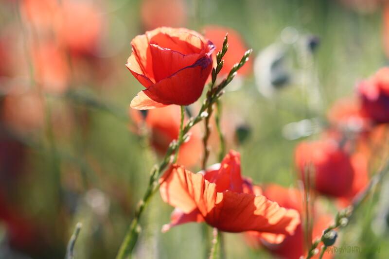 Poppys_Morges_08062019 (51)